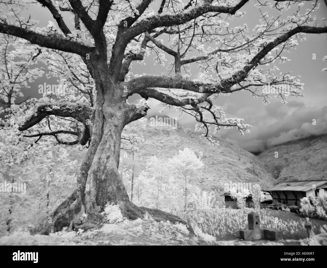 Ancient tree on Himalayan slopes, Nepal - Stock Image