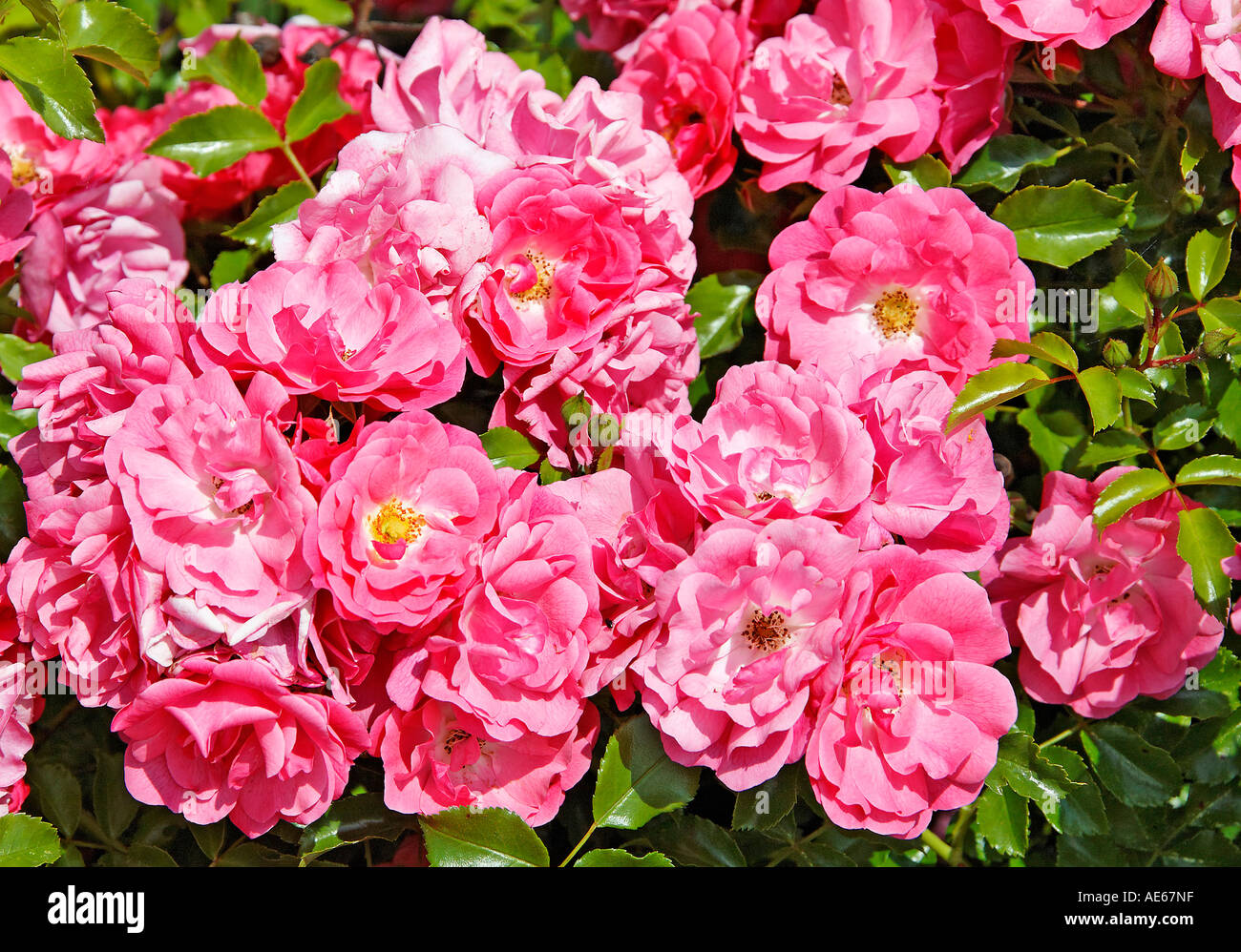 Glorious roses - Stock Image