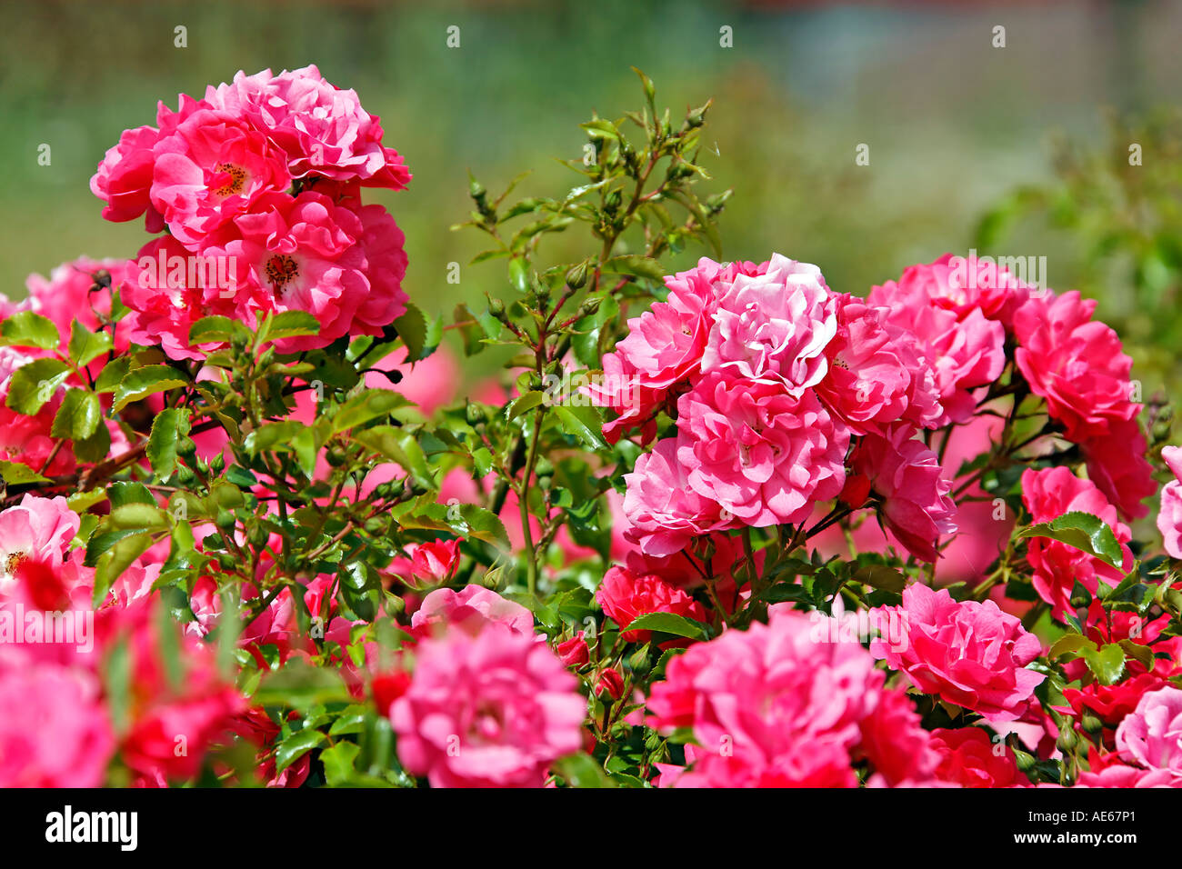 Glorious roses Stock Photo