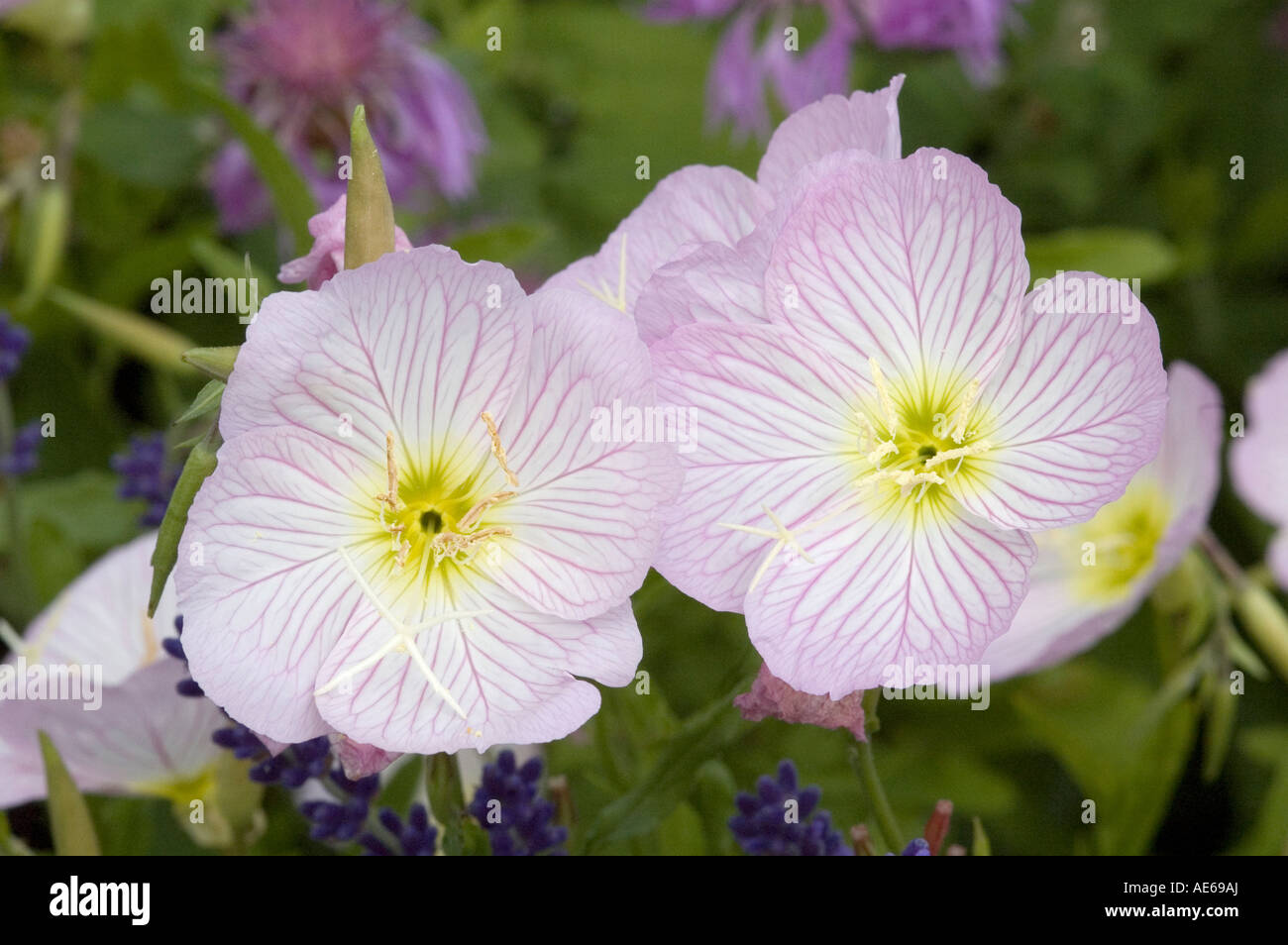 Oenothera Siskiyou Pink Evening Primrose with delicate pink laced flowers Member of the medicinal oil family - Stock Image