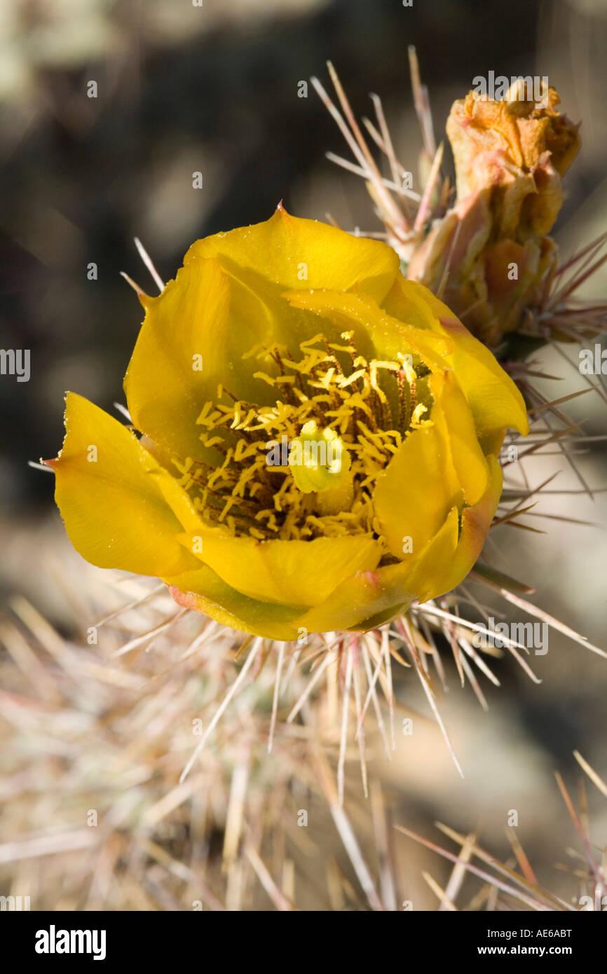 Buckhorn Cholla Cylindropuntia acanthocarpa flower Sonoran Desert near Tucson Arizona Stock Photo