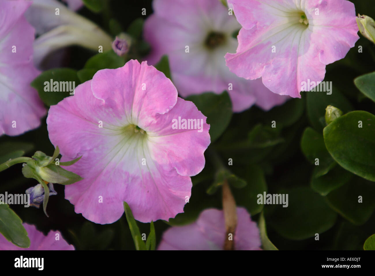 A horizontal image of pink and white Petunia flowers growing in a garden showing green leaves. - Stock Image