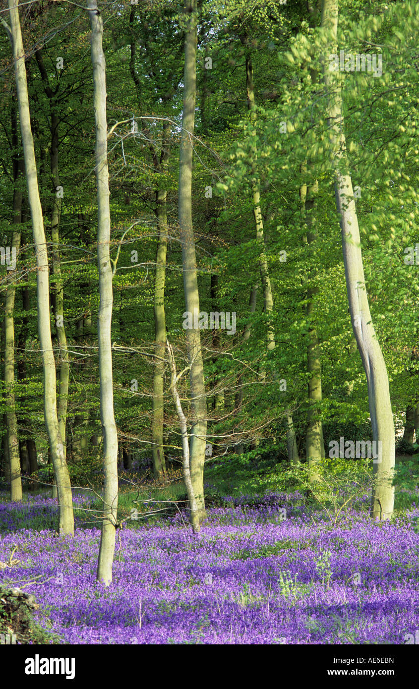 Bluebell woods near Kingsash, Buckinghamshire, Chilterns - Stock Image
