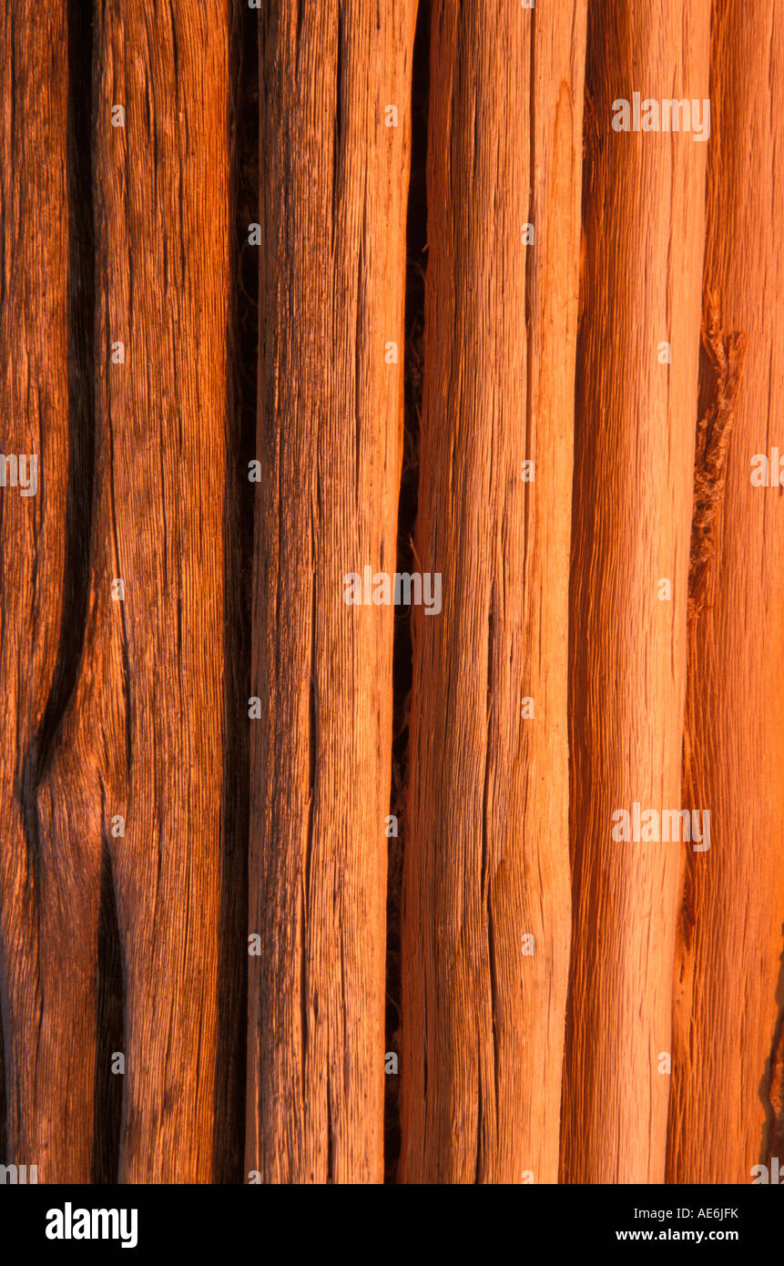 Saguaro Ribs in afternoon light, Arizona - Stock Image