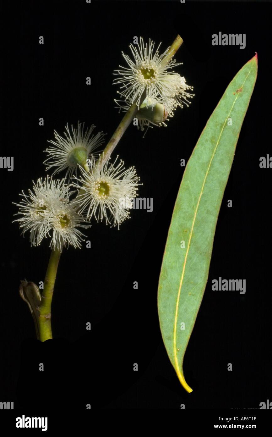 Snow gum flower leaf Eucalyptus niphophila Surrey England July - Stock Image