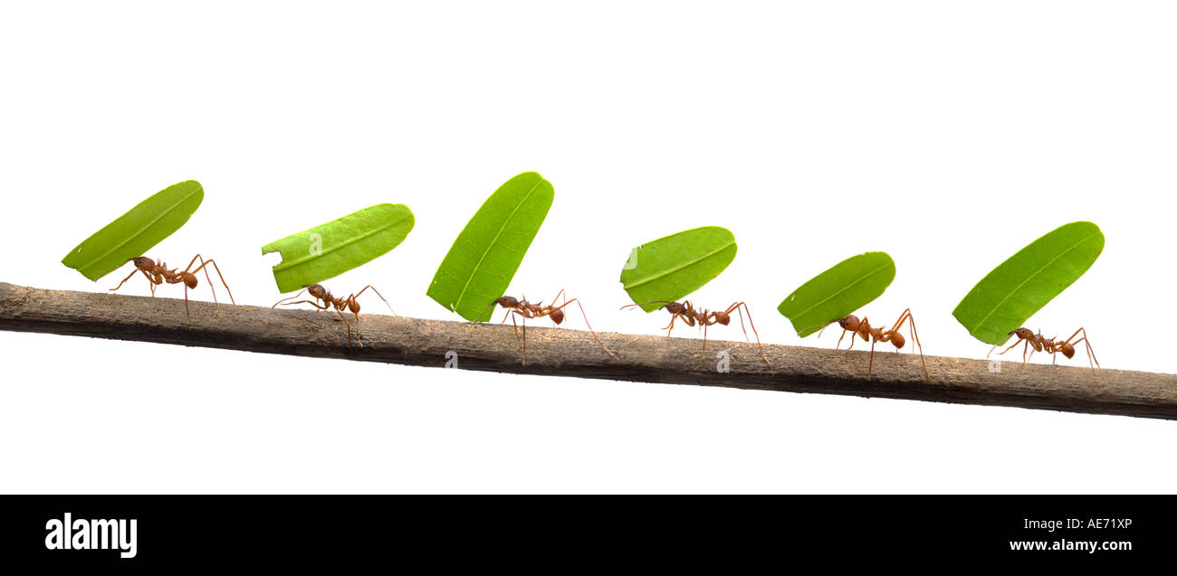 Line of ants carrying leaves - Stock Image