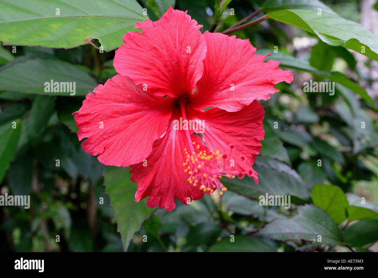 Red hibiscus flower the official state flower of malaysia gunung red hibiscus flower the official state flower of malaysia gunung gading national park sarawak borneo malaysia izmirmasajfo