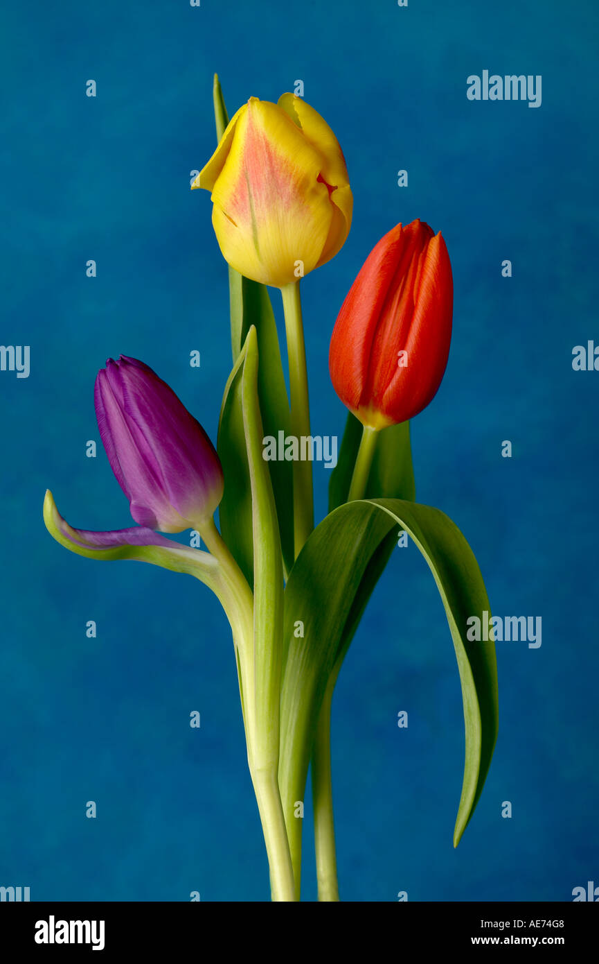 Three colored tulips - Stock Image