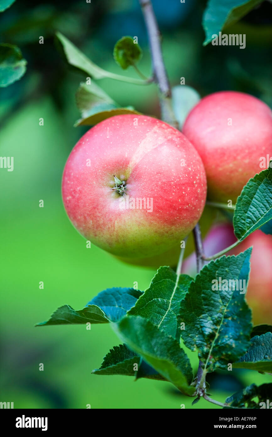 Eating apples variety Katya ripening on the tree in an English orchard - Stock Image