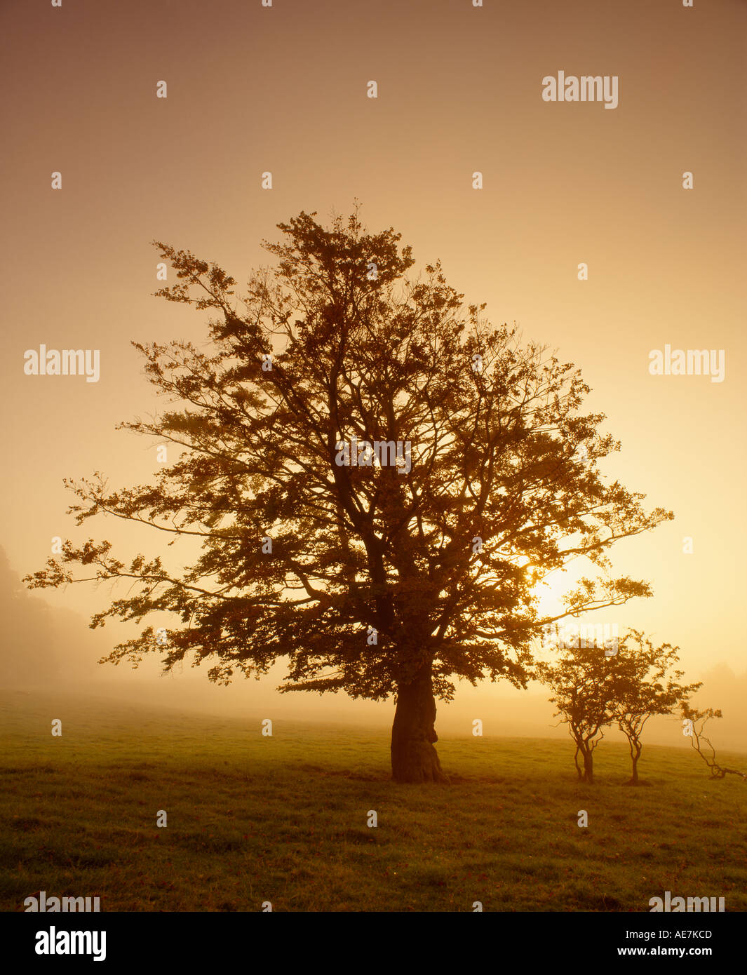 Tree silhouetted in mist against rising sun Drymen Stirling Scotland - Stock Image