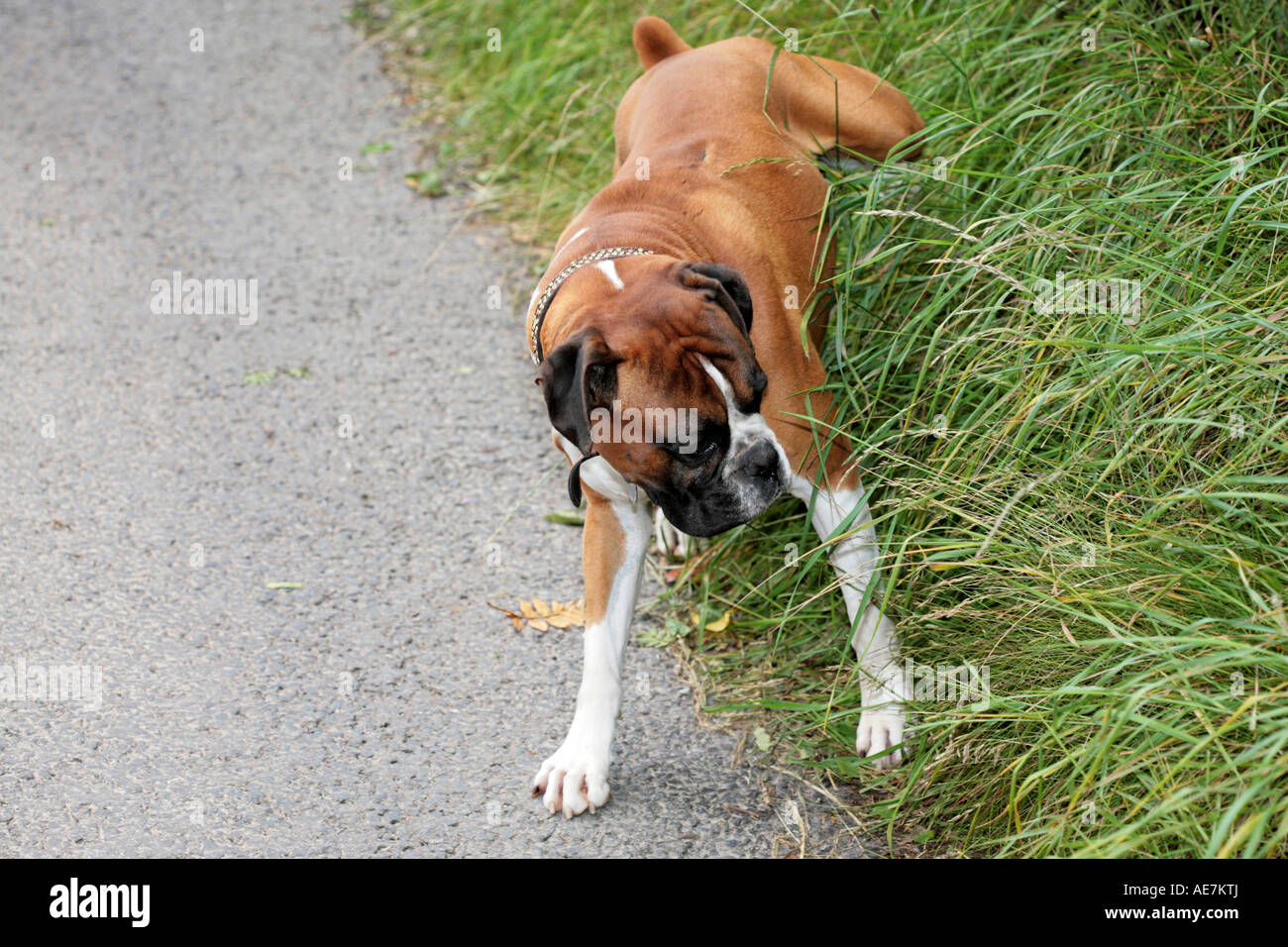 Boxer Dog having a pee
