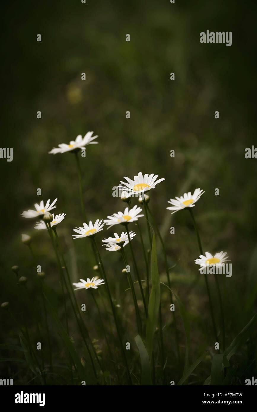 Melancholy photo of Oxeye Daisies Chrysanthemum leucanthemum - Stock Image