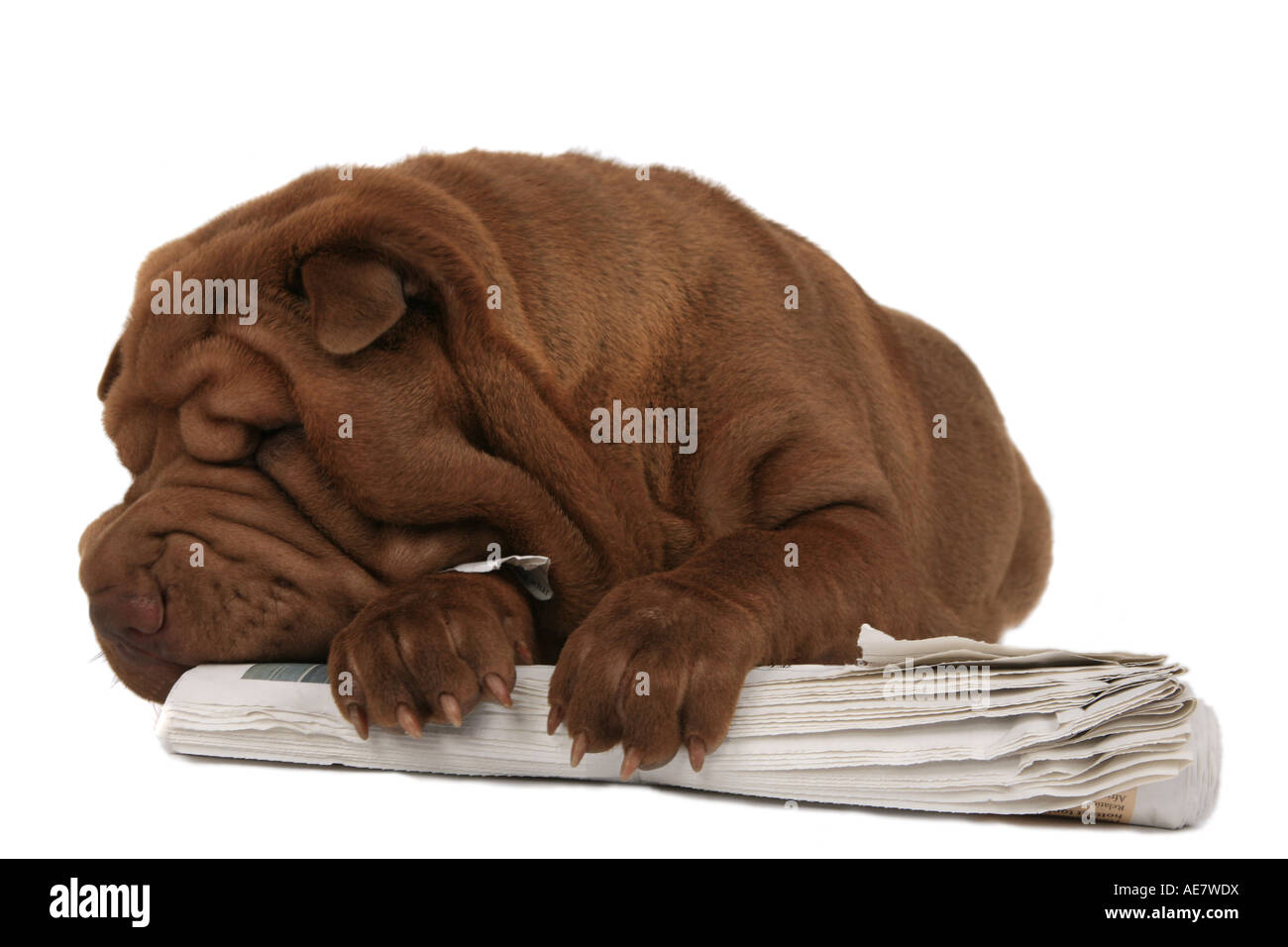 Shar Pei, Chinese Shar-Pei (Canis lupus f. familiaris), chewing a newspaper Stock Photo