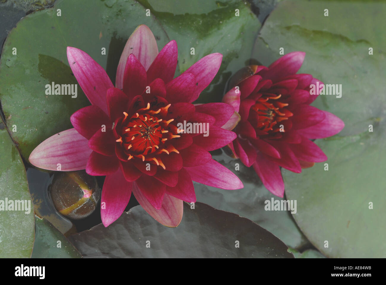 Water Lily (Nymphaea) - Stock Image