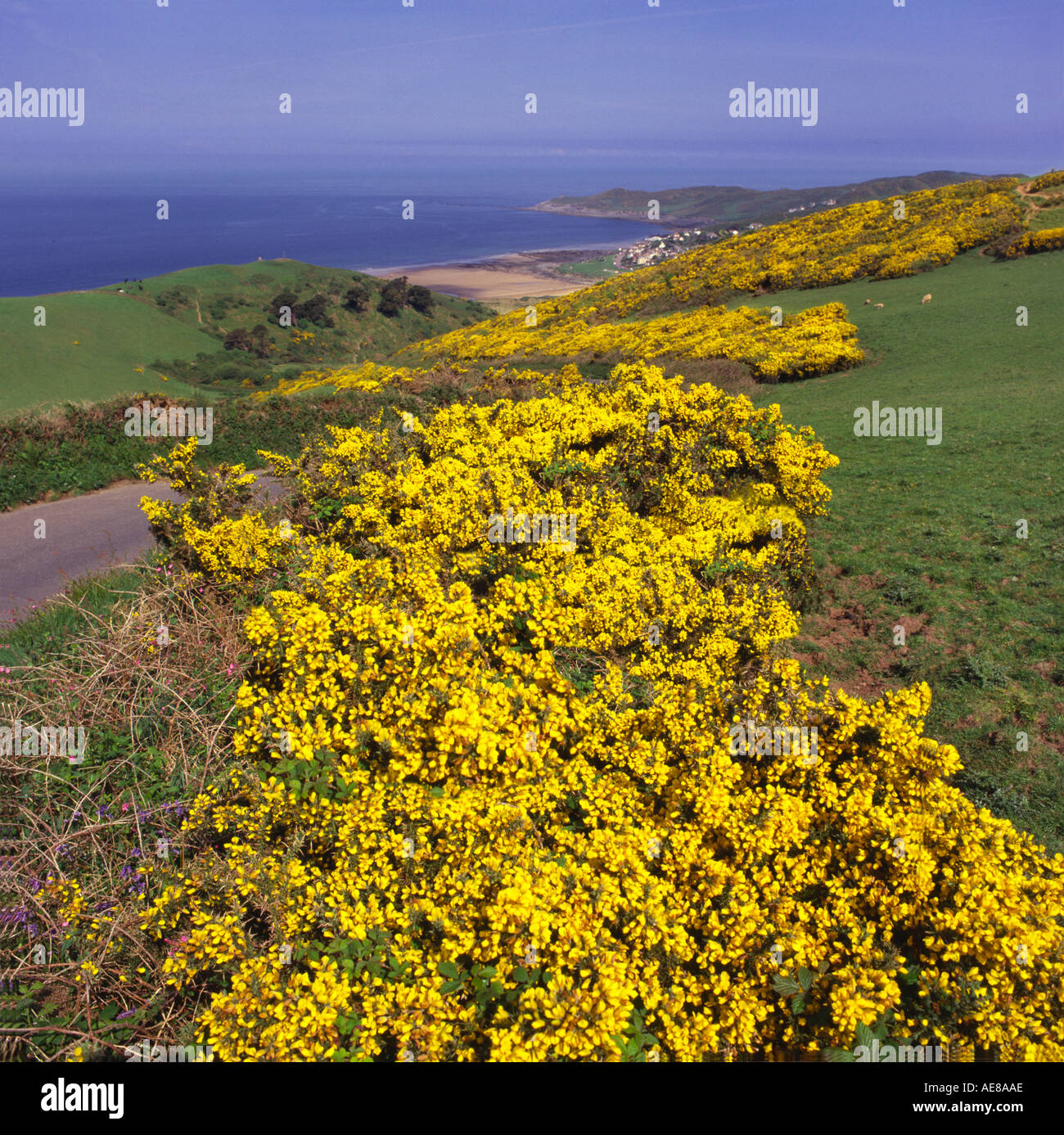 View Looking down hills covered with yellow gorse over Woolacombe town beach and Morthoe Point Devon England - Stock Image