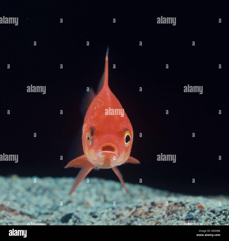 Orange Fishes Stock Photos & Orange Fishes Stock Images - Alamy