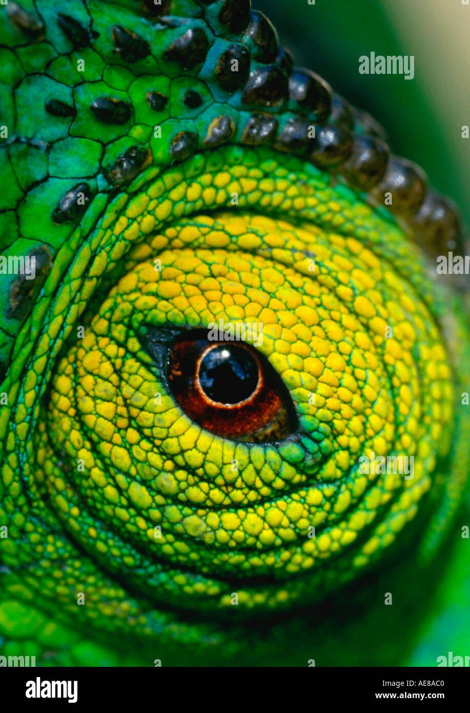 Parsons chameleon eye - Stock Image