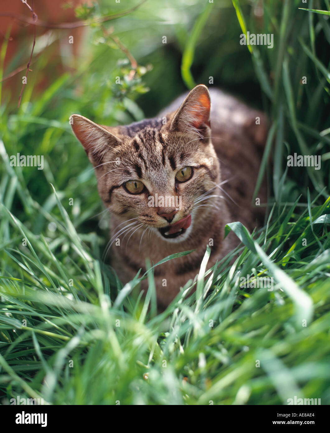 tabby cat in green grass - Stock Image