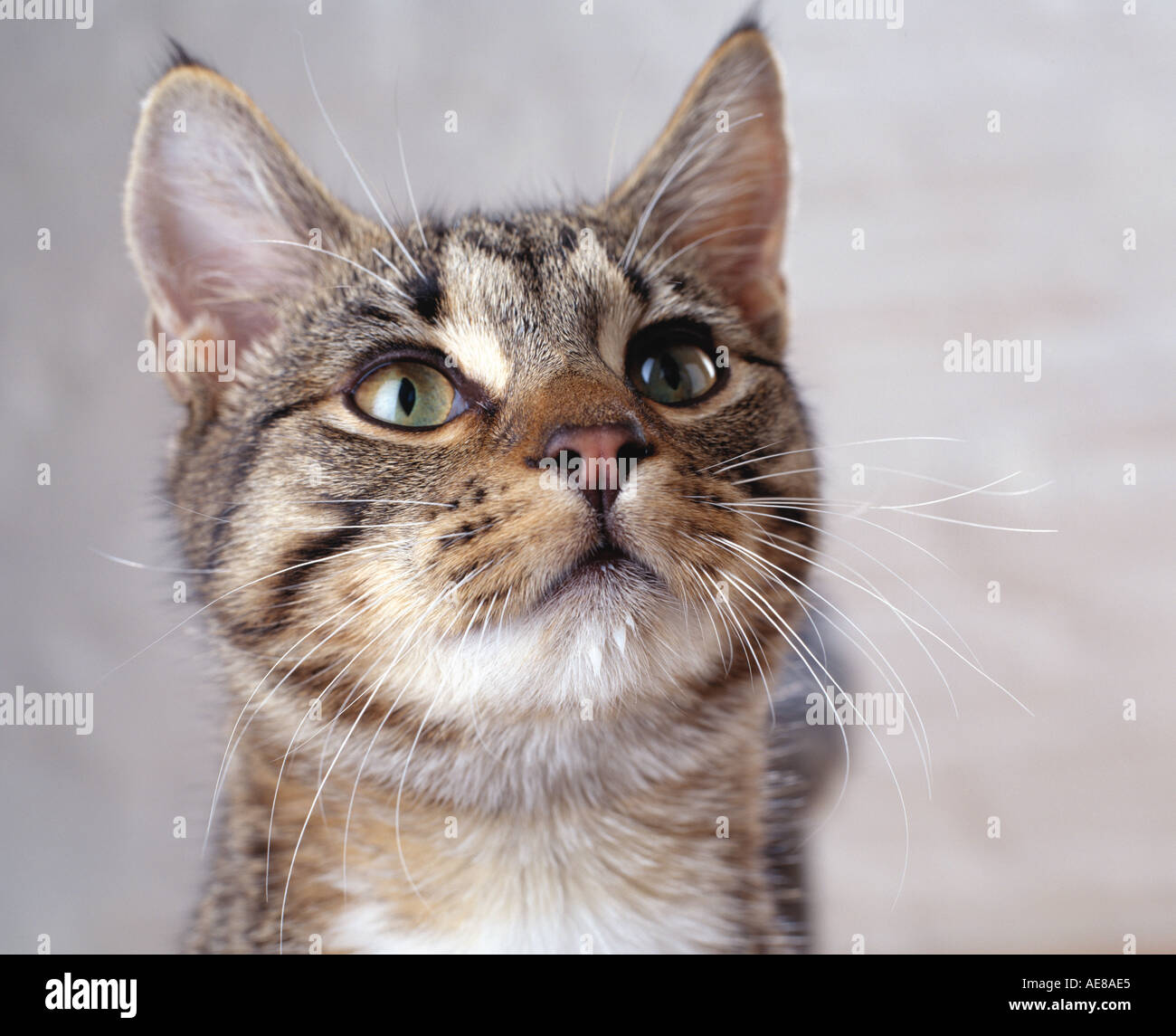 tabby cat up-close portrait - Stock Image