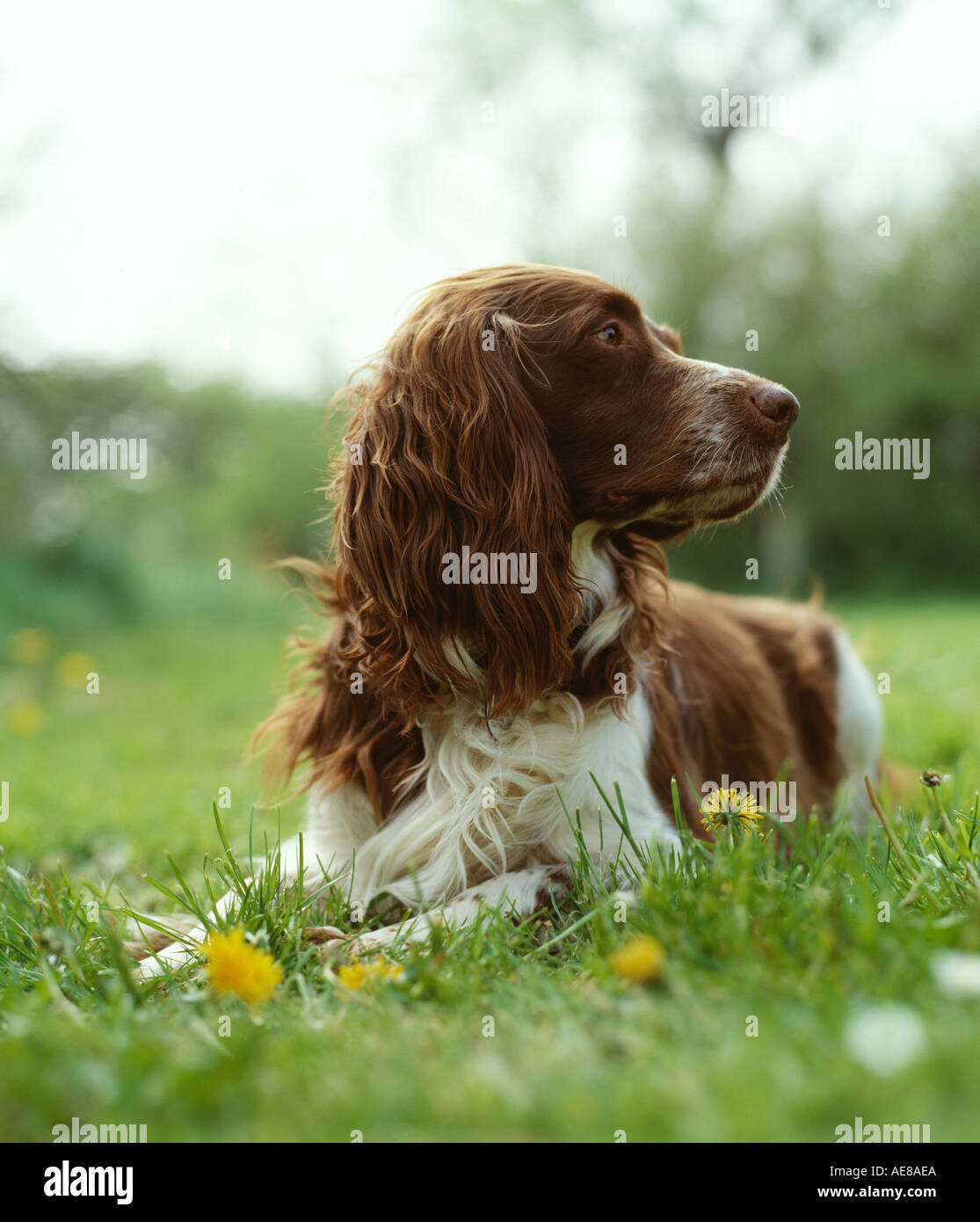springer spaniel on grass - Stock Image