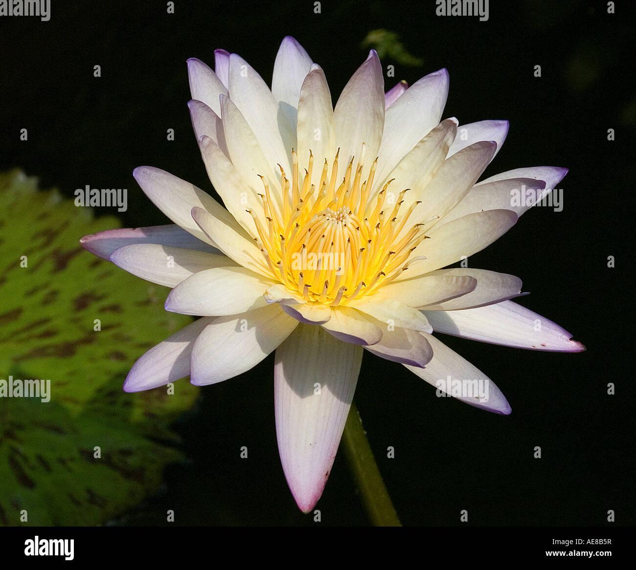 Egyptian Lotus Flower Stock Photos Egyptian Lotus Flower Stock