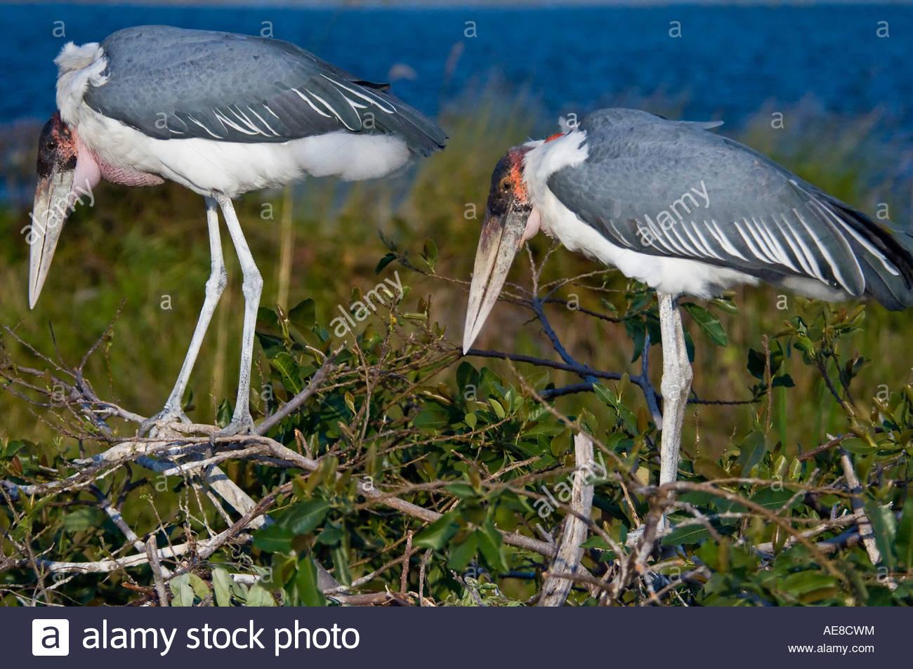 Maribou Storks Tending Their Nest. Moremi, Botswana - Stock Image