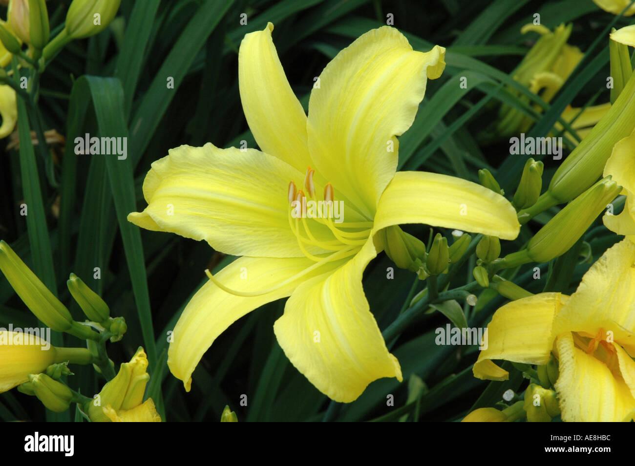 Hemerocallis Marion Vaughn The Day Lily - Stock Image