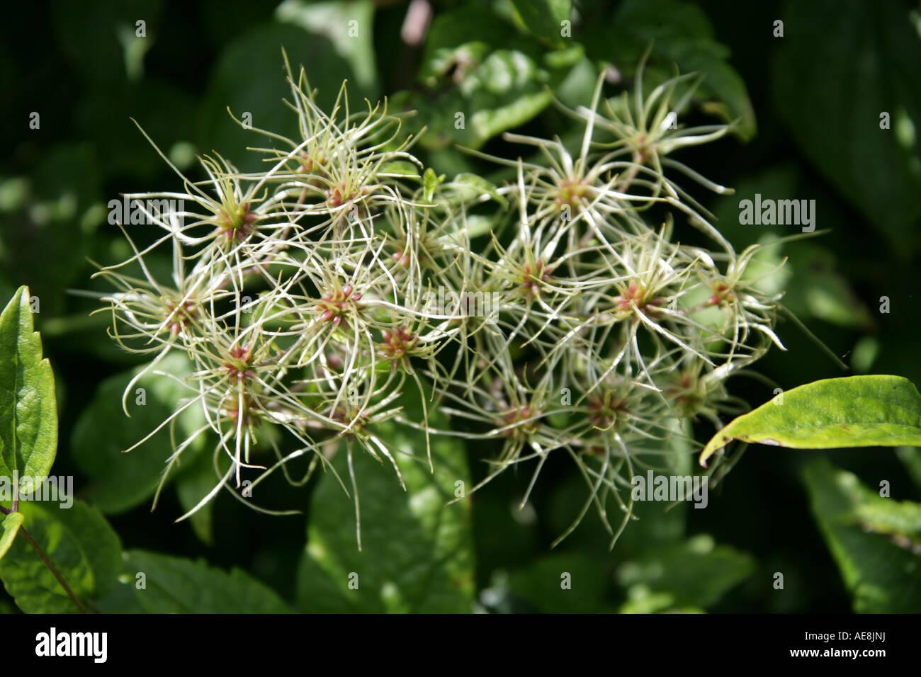 Travellers Joy Clematis vitalba Old Mans Beard Ranunculaceae - Stock Image