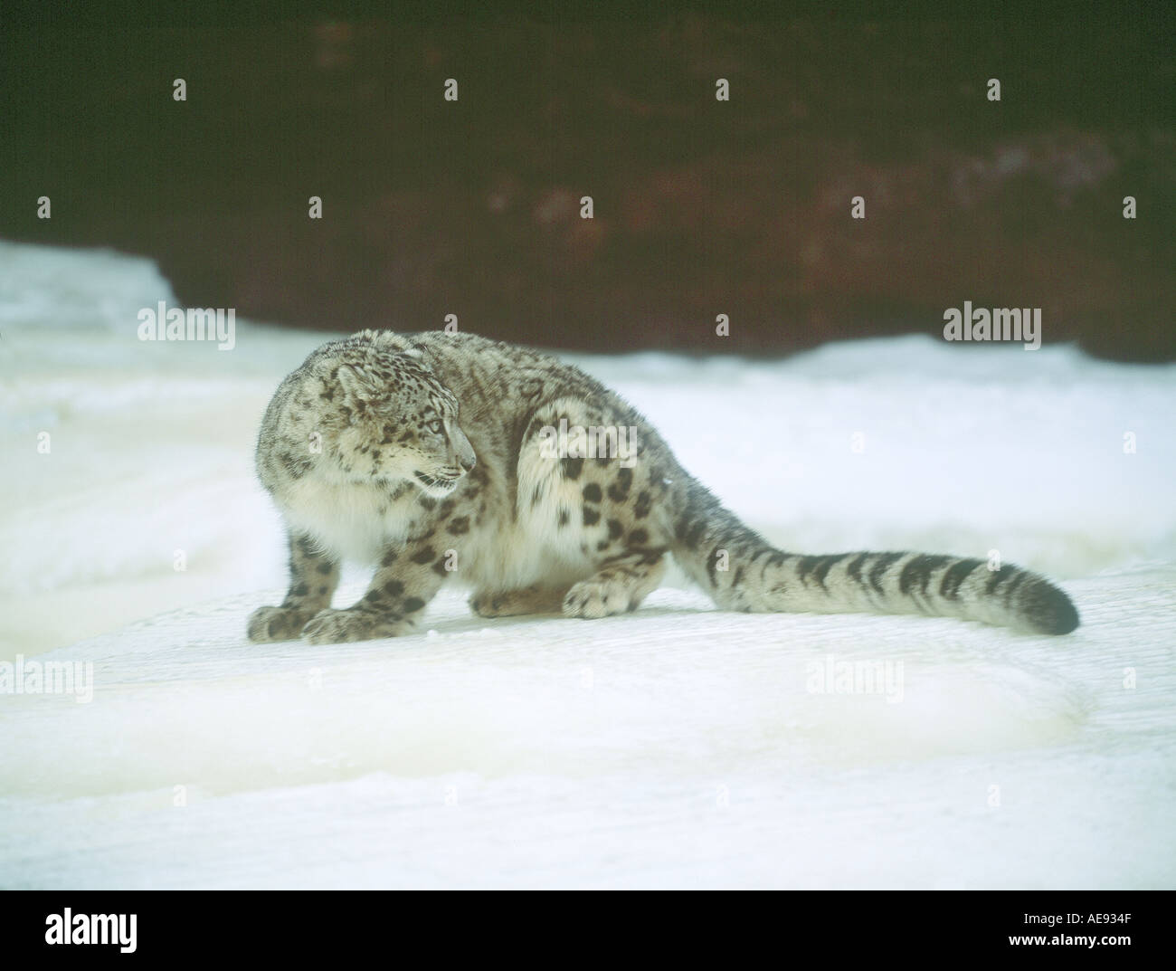 Snow leopard in winter - Stock Image