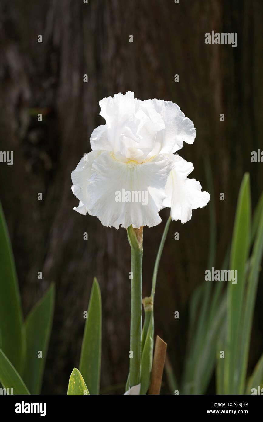 The iris germania  in Chiba Japan Asia - Stock Image