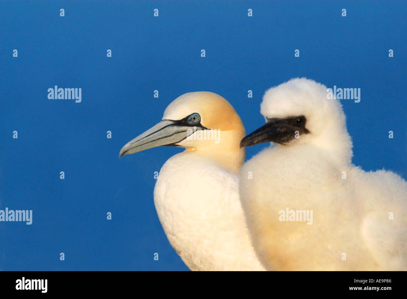 Gannet chick and mother Morus Bassanus Northern Gannet Saltee Islands Wexford Ireland Europe EU - Stock Image