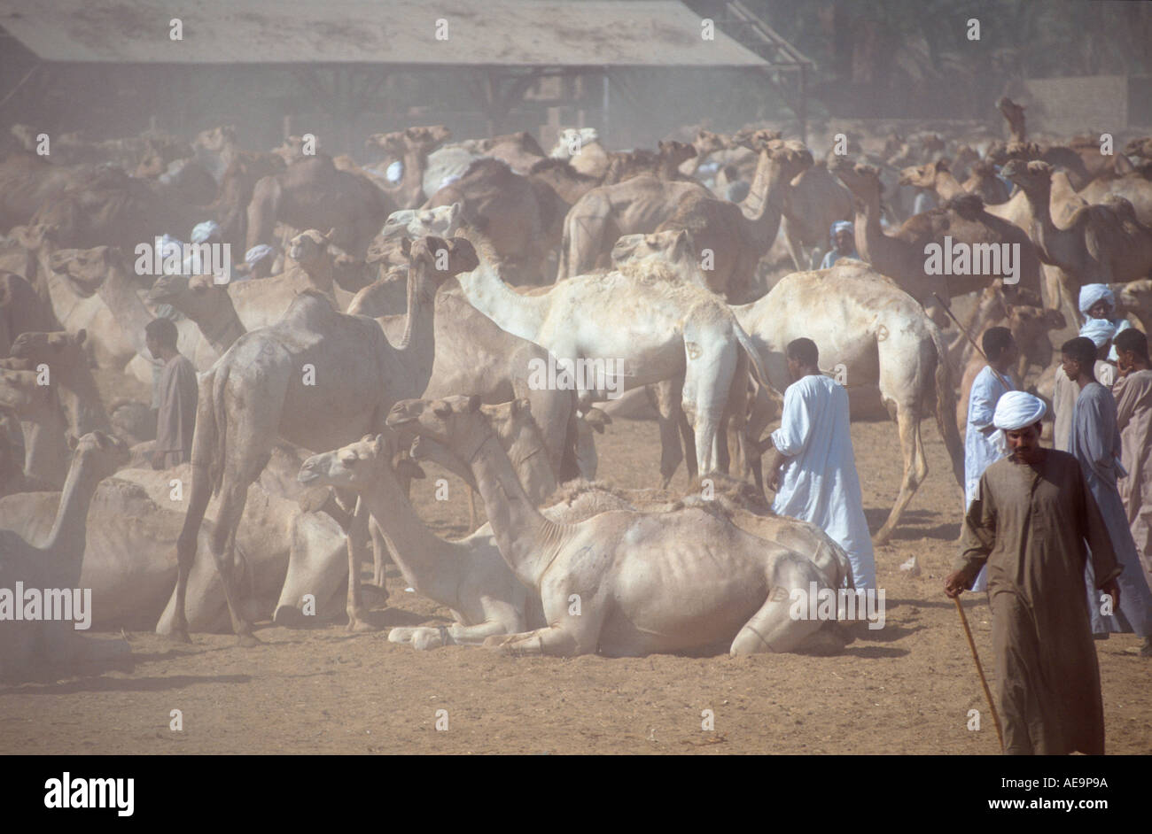 Sea of camels in the dust of Darow camel market, near Kom Ombo, Aswan, Egypt - Stock Image