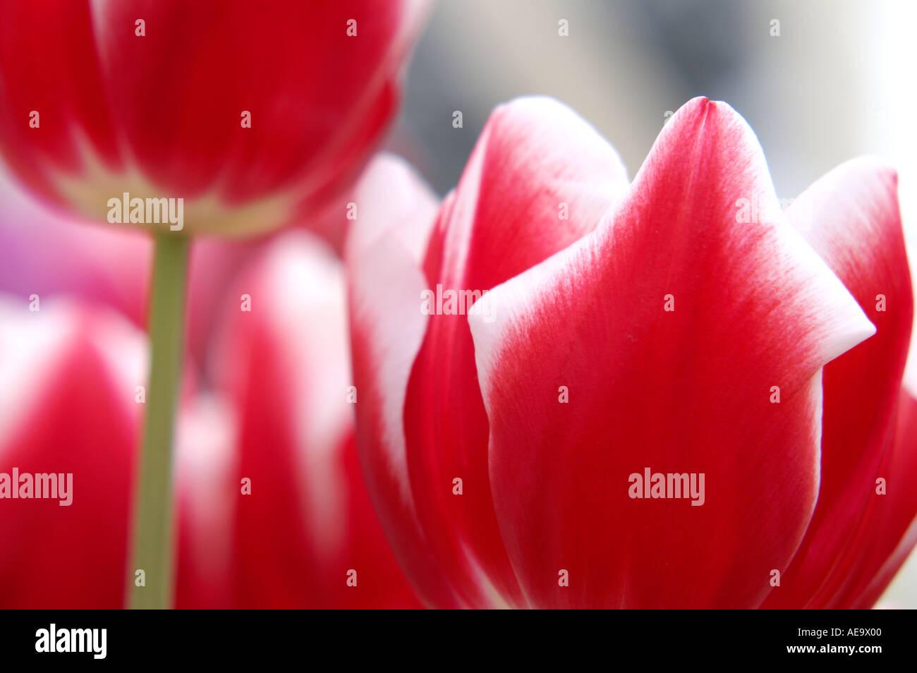 Tulip Valentine - Stock Image