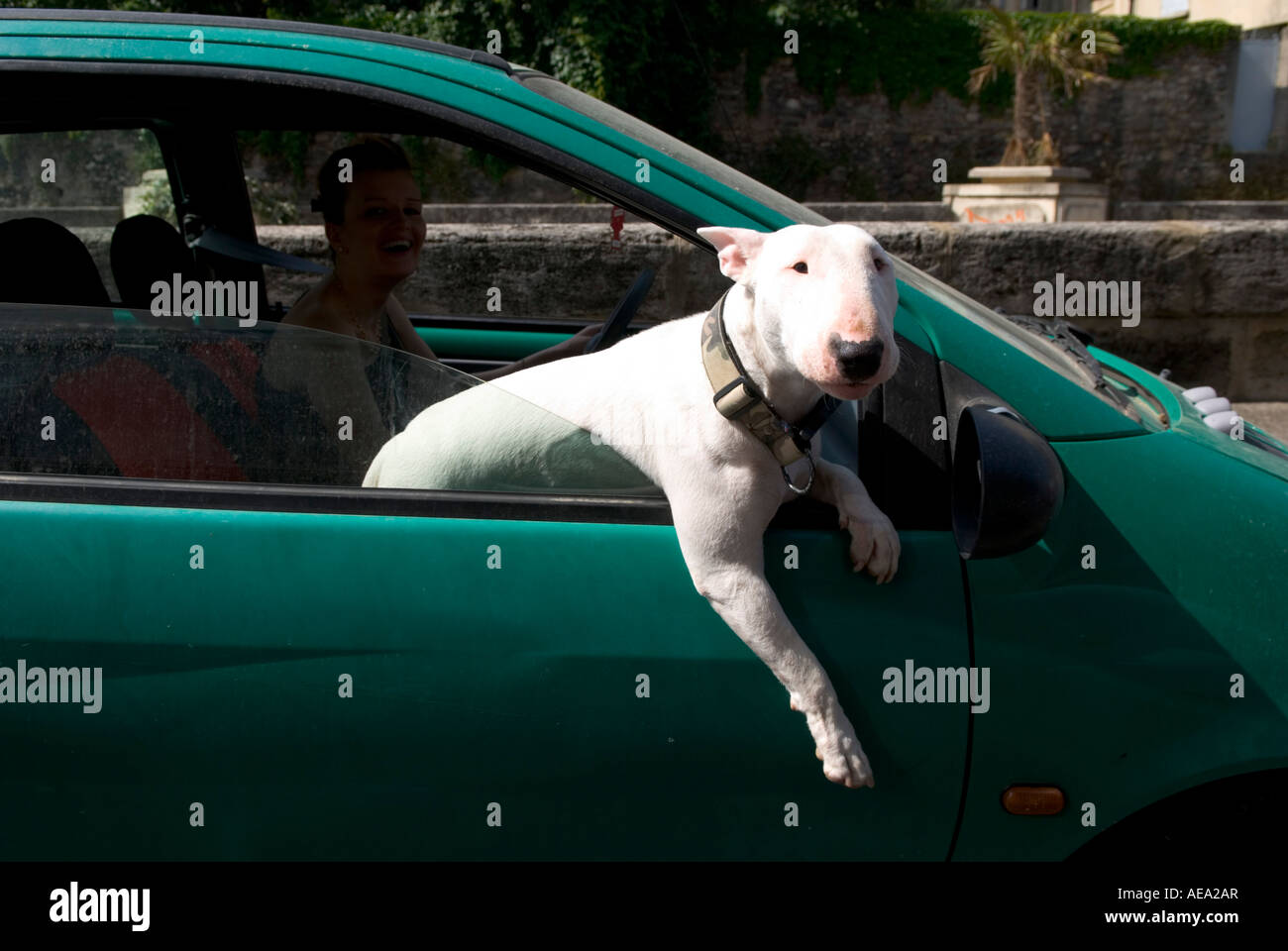 an english bull terrier leans out of a moving car window with his leg hanging down - Stock Image