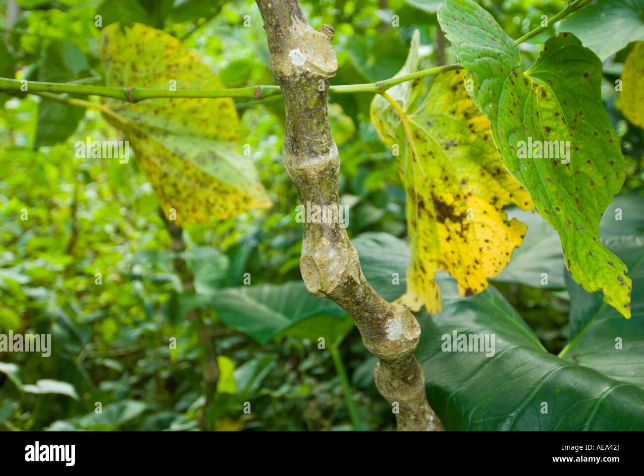 KAVA Piper methysticum fresh plant fiji Islands and leaves ritaul branch DRINK Stock Photo