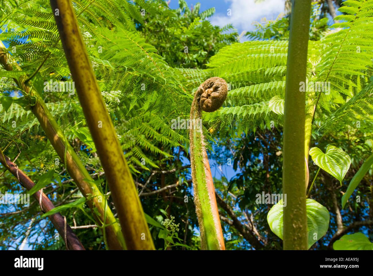 big huge green giant fern SAMOA ISLANDS South southsea sea Pacific wild wilderness RAINFOREST - Stock Image