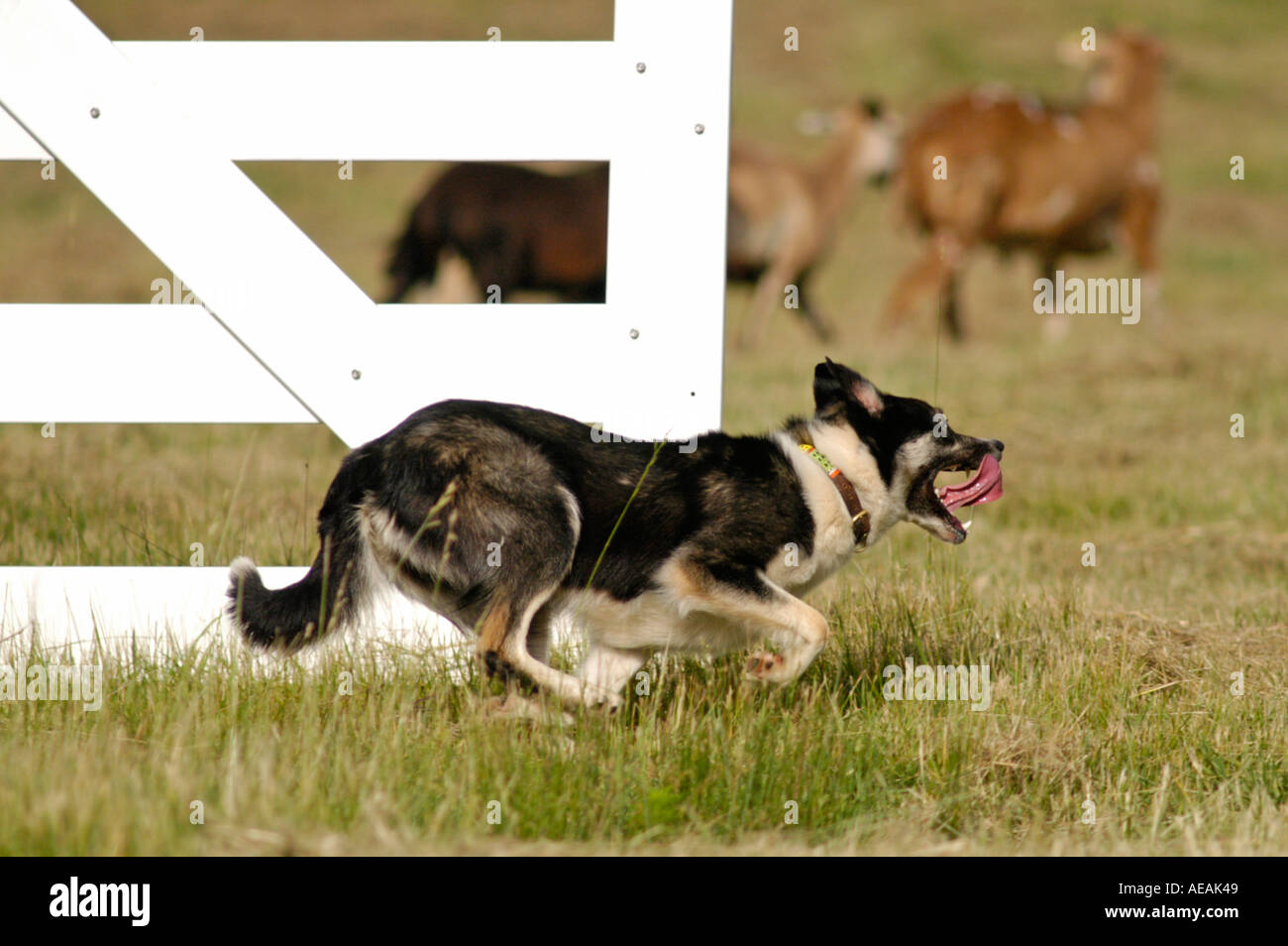 Border Collie herding sheep at an AKC herding trial in North