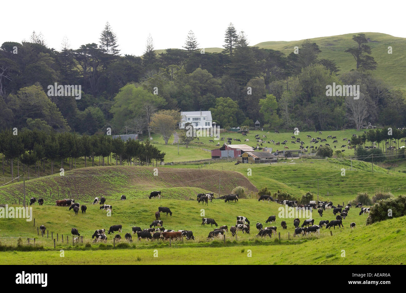 Traditional homestead and farm with cattle North Island New Zealand - Stock Image