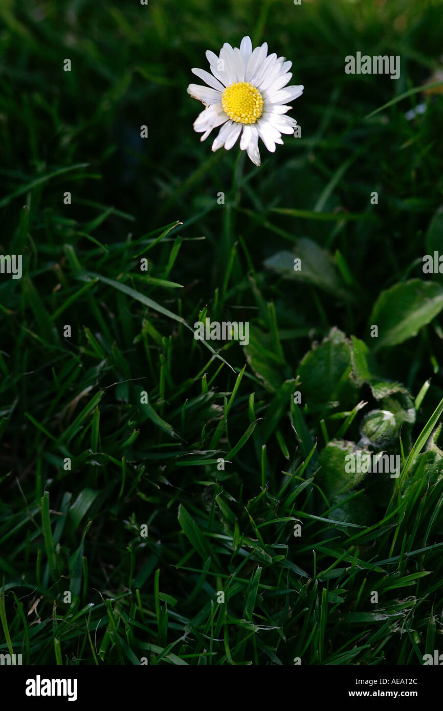 Daisy flower among grass England - Stock Image