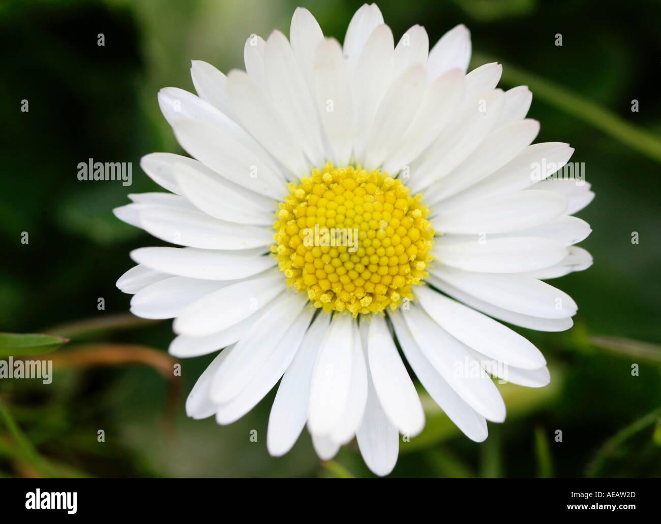 Daisy flower england stock photos daisy flower england stock daisy flower england stock image izmirmasajfo
