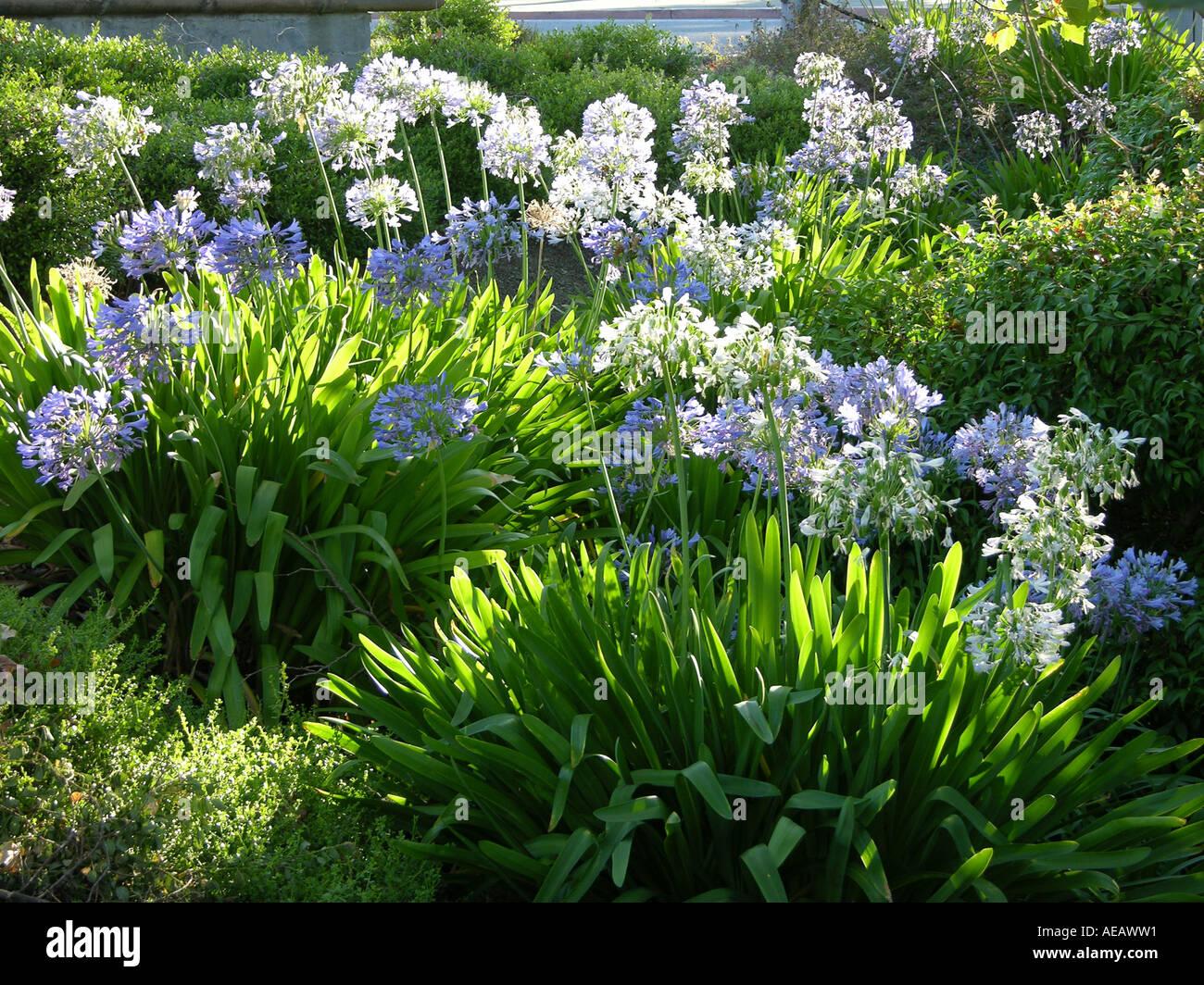 Agapanthus or lily nile flower usa stock photos agapanthus or lily agapanthus lily of the nile african lily larkspur california usa izmirmasajfo