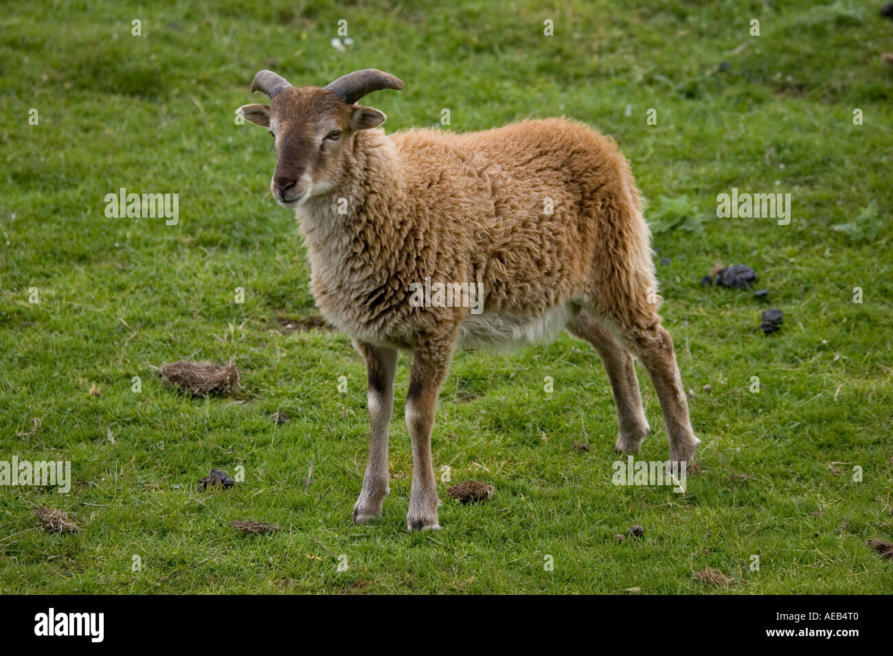 Soay sheep Ovis aries aries soay Highland Wildlife Park Scotland UK Originated from St Kilda in Outer Hebrides - Stock Image