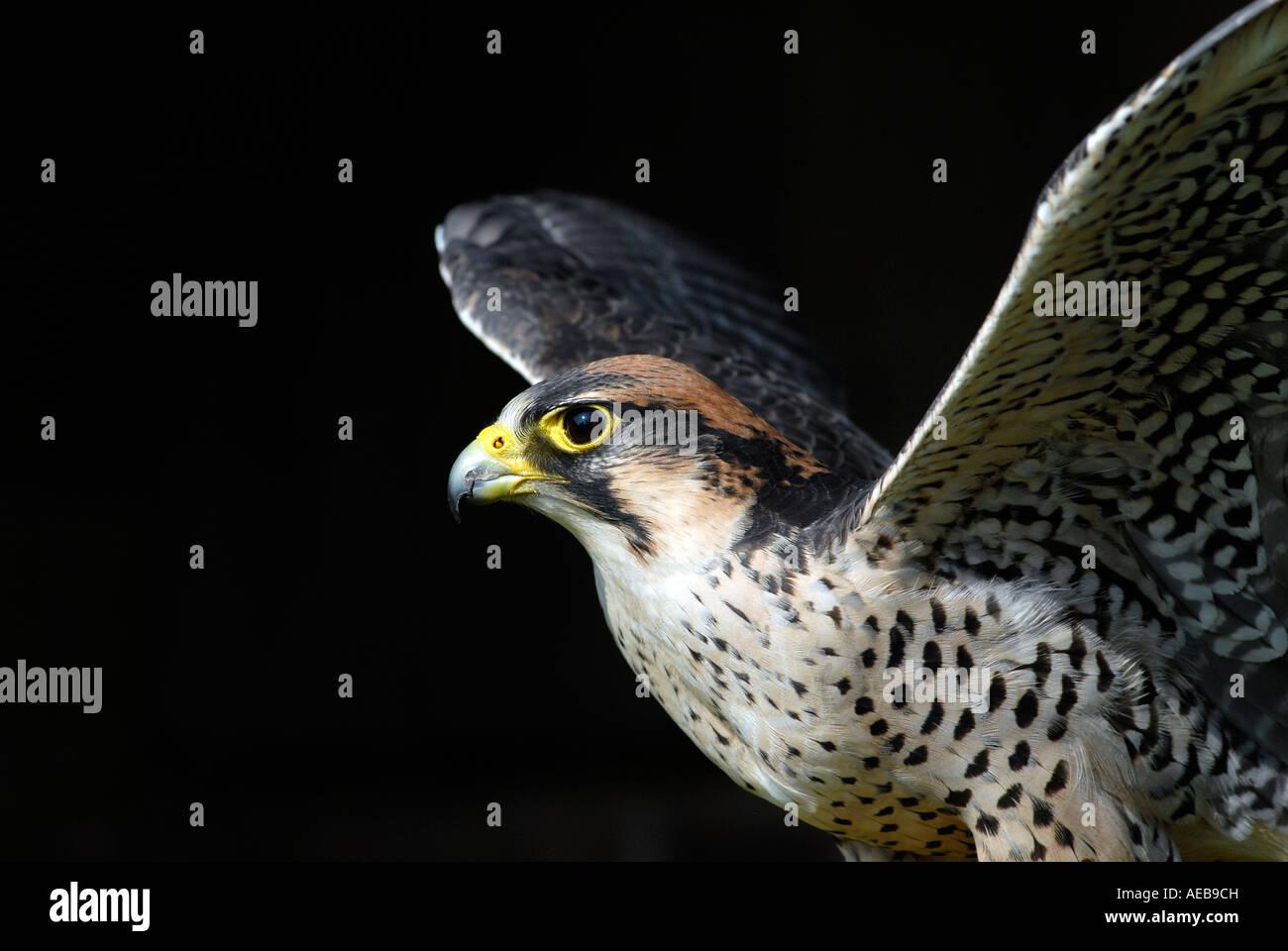 A Peregrine Falcon - Falco peregrinus Stock Photo