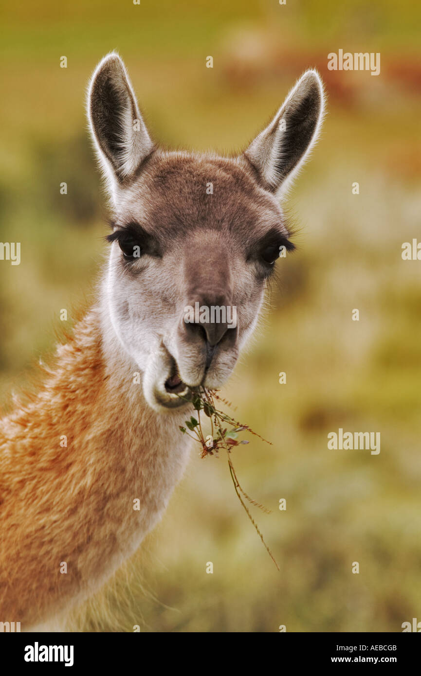 Guanaco eating Lama guanicoe) Torres del Paine National Park Chile South America - Stock Image