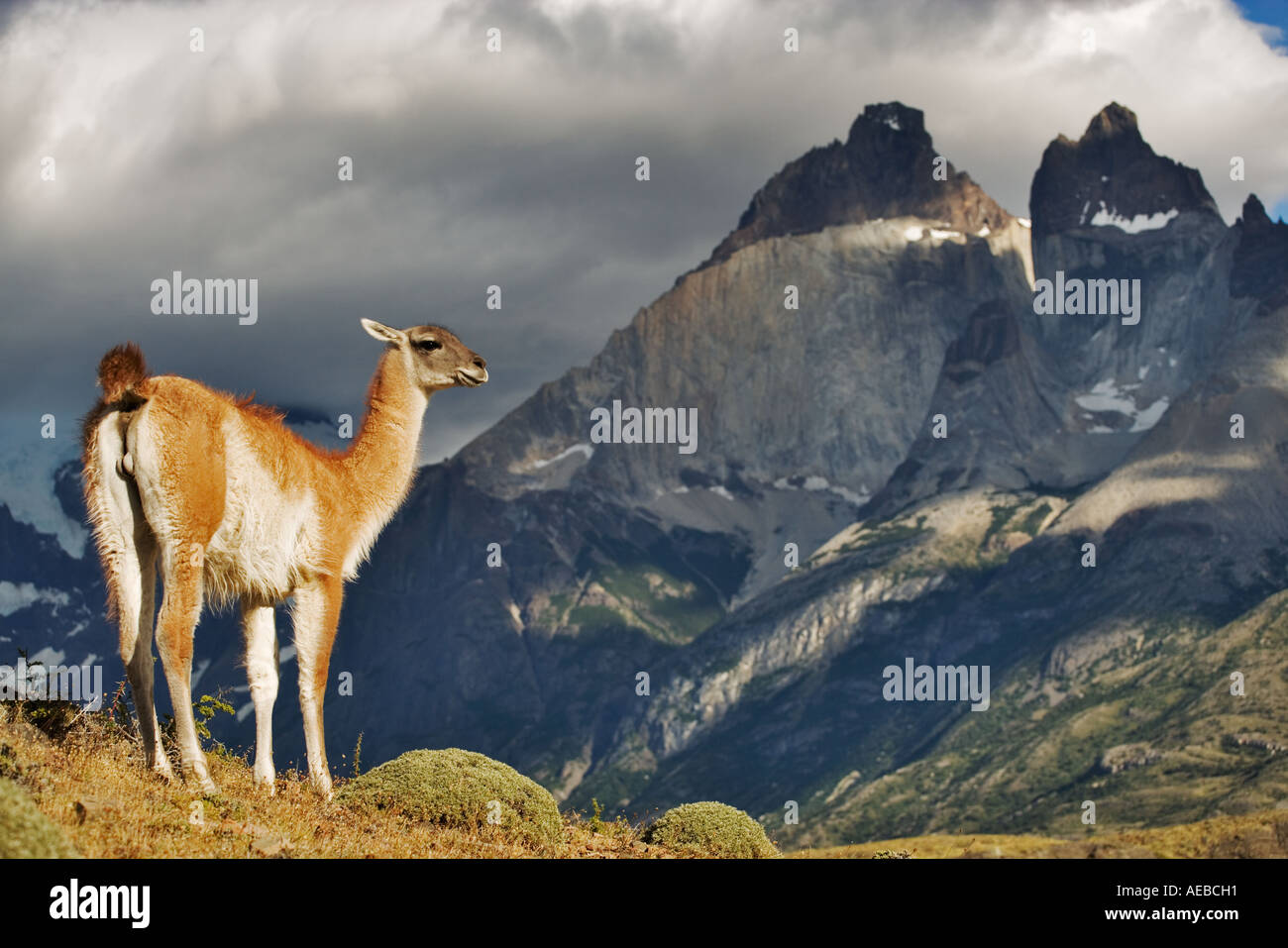 Guanaco (Lama guanicoe) Torres del Paine National Park Chile Dist South America Stock Photo