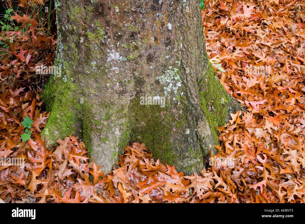 Fallen Oak Leaves Te Wera Arboretum Forgotten World Highway Taranaki North Island New Zealand - Stock Image