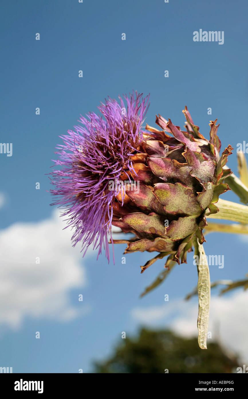 Globe Artichoke (Cynara scolymus) flowerhead - Stock Image