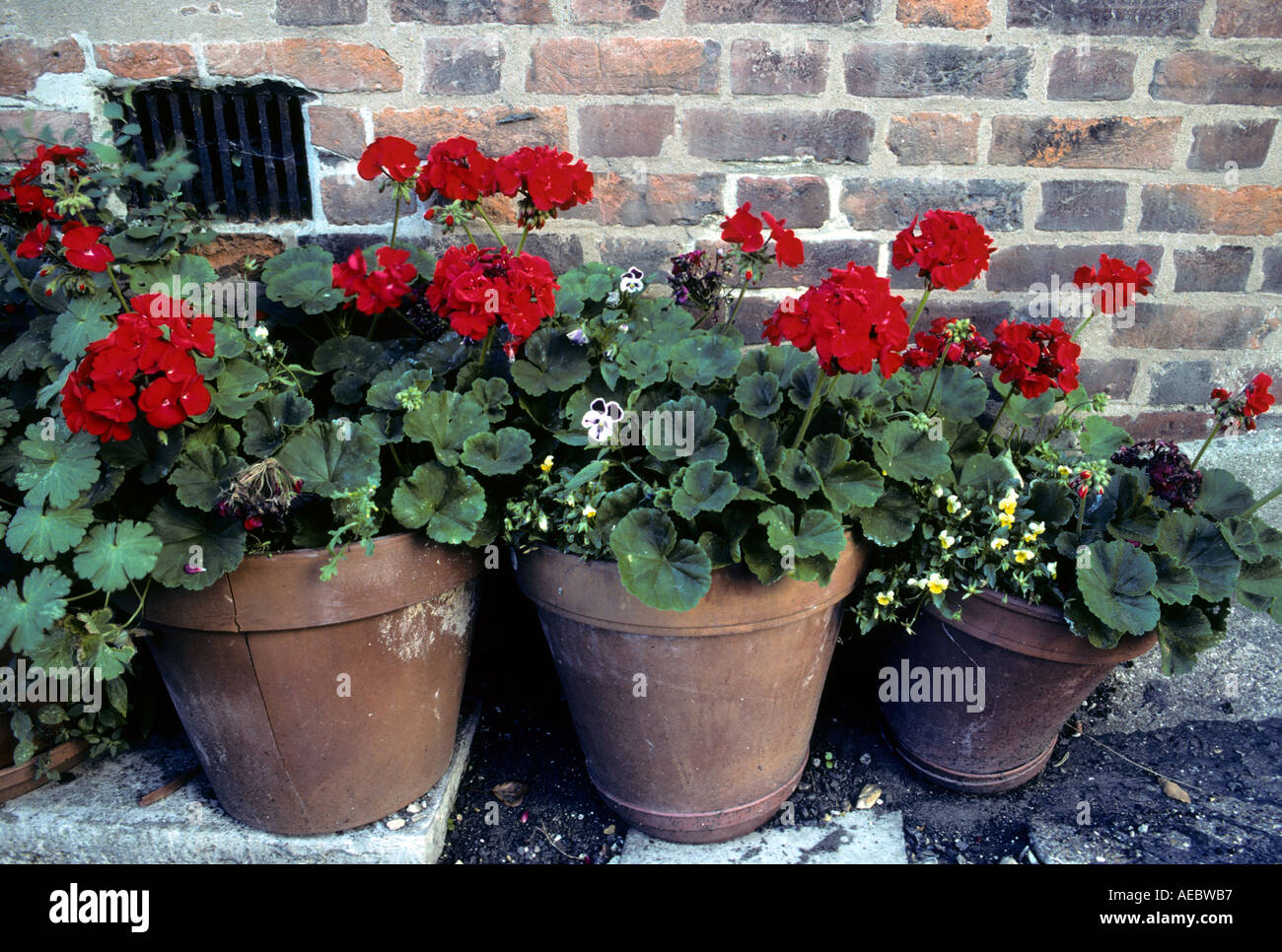 Red Geranium flowers in red clay pots against brick wall & Red Geranium flowers in red clay pots against brick wall Stock Photo ...