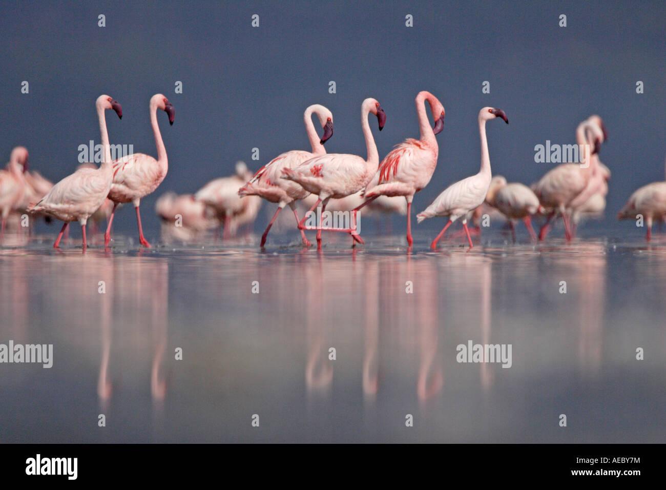 Lesser Flamingos at Lake Nakuru Stock Photo