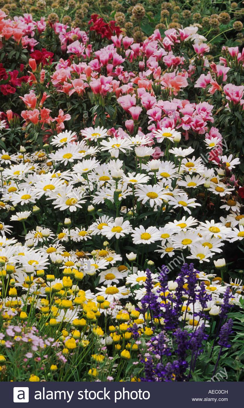 Colgrave Seeds Oxfordshire Perennial Flower Combination Shasta Daisy